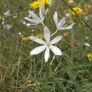 Photographie n°44070 du taxon Anthericum ramosum L.