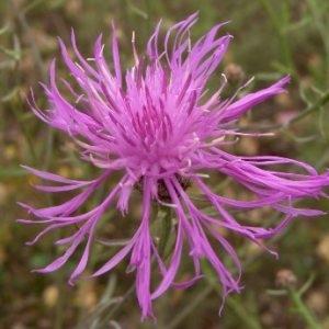 Centaurea maculosa Lam. (Centaurée tachetée)