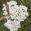 Mélie PORTAL - Achillea millefolium L. [1753]
