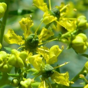Photographie n°44158 du taxon Ruta graveolens L.