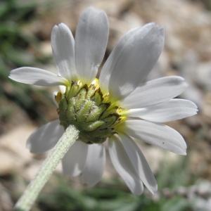 Anthemis cretica L.