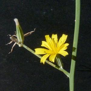 Photographie n°44234 du taxon Chondrilla juncea L. [1753]