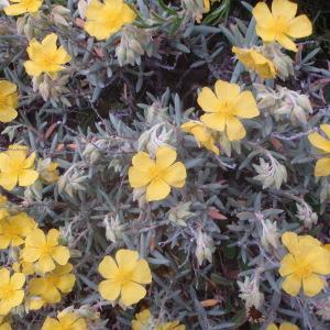 Photographie n°44272 du taxon Helianthemum syriacum (Jacq.) Dum.Cours. [1802]