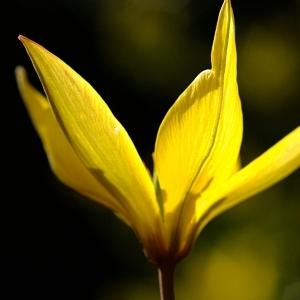 Photographie n°44274 du taxon Tulipa sylvestris L.