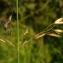 Florent Beck - Arrhenatherum elatius subsp. bulbosum x Arrhenatherum elatius subsp. elatius