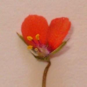 Photographie n°44295 du taxon Anagallis arvensis L. [1753]