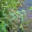 Florent Beck - Solanum dulcamara L. [1753]