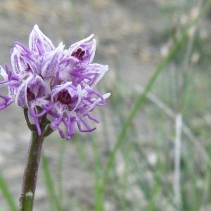 Photographie n°44308 du taxon Orchis simia Lam. [1779]