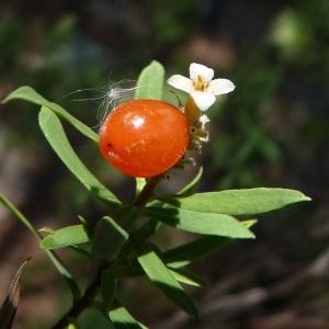 Photographie n°44345 du taxon Daphne gnidium L.