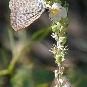Photographie n°44351 du taxon Linaria repens (L.) Mill. [1768]