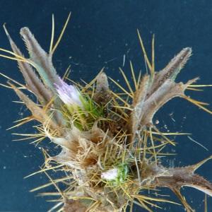 Picnomon acarna (L.) Cass. (Cirse acarna)