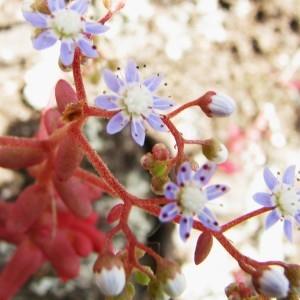 Sedum caeruleum L. (Orpin bleuâtre)