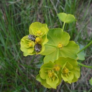 Photographie n°44382 du taxon Euphorbia serrata L. [1753]