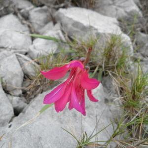 Gladiolus gallaecicus Pau ex J.M.Tison & Ch.Girod (Glaïeul d'Illyrie)