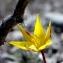 Daniel BERETZ - Tulipa australis Link