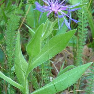 Photographie n°44475 du taxon Centaurea montana var. montana