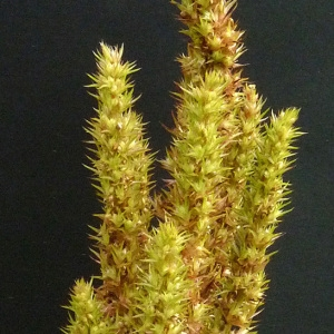 Photographie n°44493 du taxon Amaranthus hybridus L. [1753]