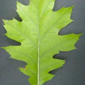Photographie n°44514 du taxon Quercus rubra L. [1753]