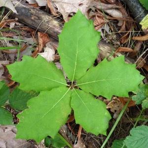 Photographie n°44515 du taxon Quercus rubra L. [1753]