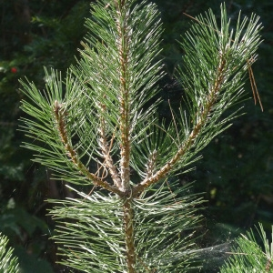 Pinus nigra J.F.Arnold subsp. nigra (Pin noir d'Autriche)