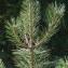 Bertrand BUI - Pinus nigra subsp. nigra