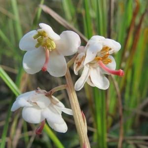 Pyrola rotundifolia var. arenaria W.D.J.Koch (Pirole des dunes)