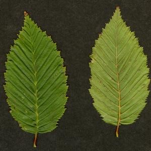 Photographie n°44594 du taxon Ostrya carpinifolia Scop. [1772]