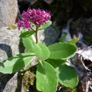 Photographie n°44610 du taxon Sedum telephium L.