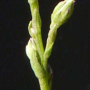 Photographie n°44617 du taxon Aster squamatus (Spreng.) Hieron. [1900]