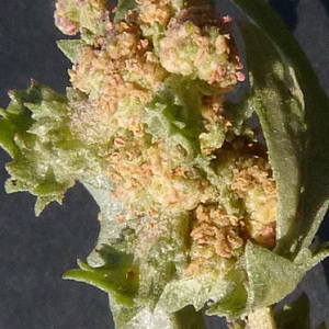 Atriplex rosea L. (Arroche rosée)