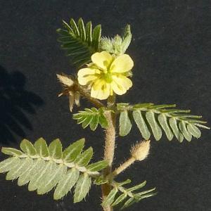 Photographie n°44639 du taxon Tribulus terrestris L. [1753]