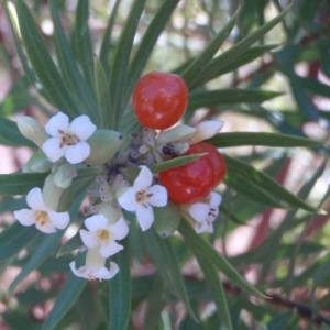 Photographie n°44643 du taxon Daphne gnidium L.