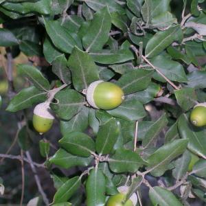 Photographie n°44648 du taxon Quercus ilex L. [1753]