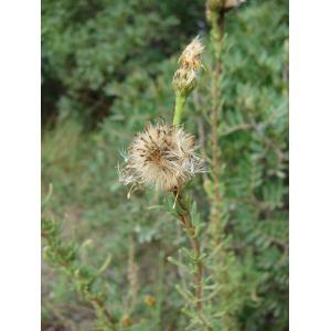 Limbarda crithmoides subsp. longifolia (Arcang.) Greuter (Inule de la Méditerranée)