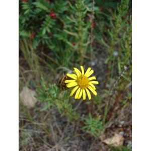 Limbarda crithmoides subsp. longifolia (Arcang.) Greuter [2003] (Inule de la Méditerranée)