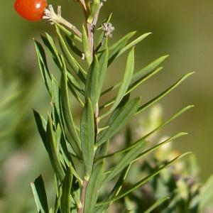 Photographie n°44694 du taxon Daphne gnidium L.