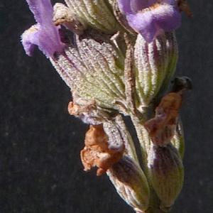 Photographie n°44697 du taxon Lavandula latifolia Medik.