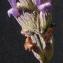 Bertrand BUI - Lavandula latifolia Medik.