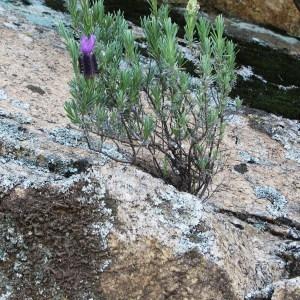 Photographie n°44712 du taxon Lavandula stoechas subsp. stoechas