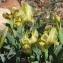 Robert LERAS - Iris lutescens subsp. lutescens
