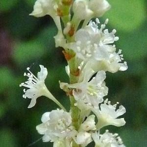 Photographie n°44772 du taxon Reynoutria sachalinensis (F.Schmidt) Nakai [1922]