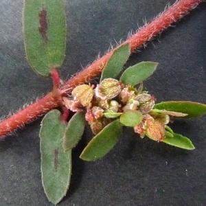 Photographie n°44825 du taxon Euphorbia maculata L. [1753]