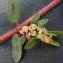 Bertrand BUI - Euphorbia maculata L. [1753]