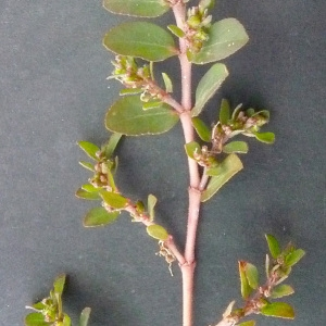 Photographie n°44826 du taxon Euphorbia prostrata Aiton