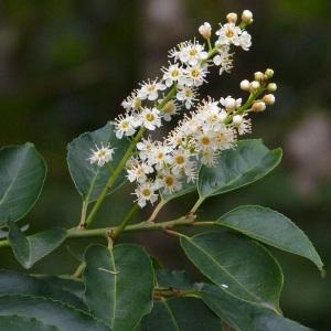 Photographie n°44829 du taxon Prunus lusitanica L. [1753]