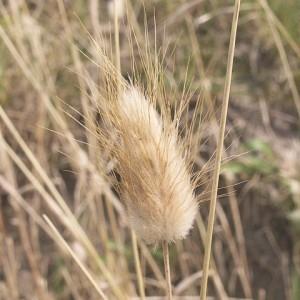 Photographie n°44833 du taxon Lagurus ovatus L.