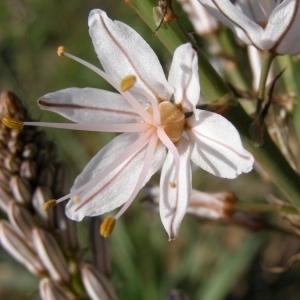 Photographie n°44856 du taxon Asphodelus ramosus L.