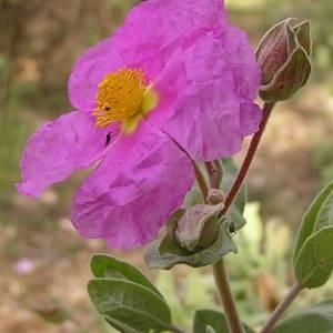 Photographie n°44868 du taxon Cistus albidus L.