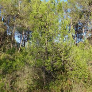 Photographie n°44878 du taxon Pinus halepensis Mill.