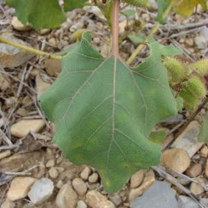 Photographie n°44899 du taxon Xanthium strumarium L. [1753]